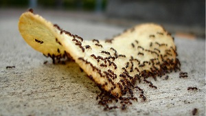 How to Get Rid of Ants in House - 5 Home Remedies