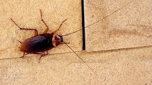 How to Get Rid of Cockroaches in Home and Kitchen