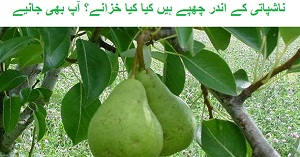 Pear Fruit Benefits in Urdu