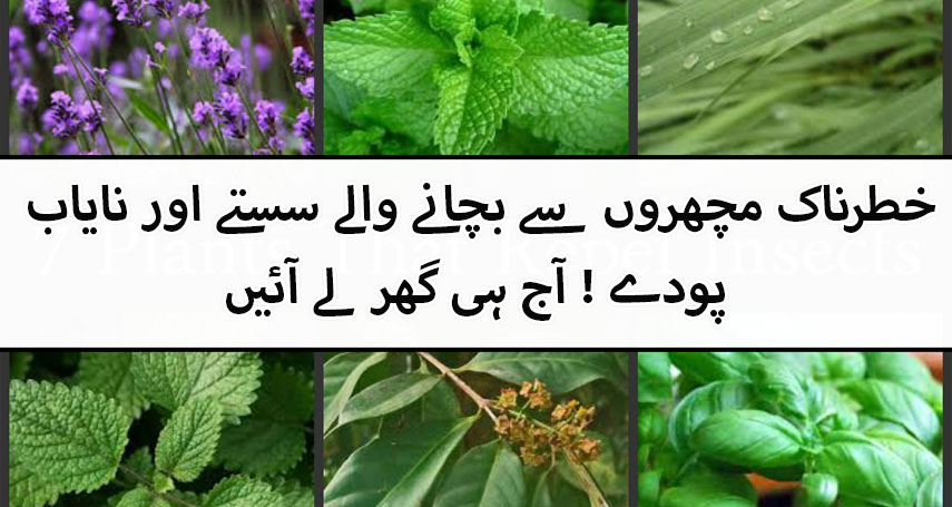 Food cooking recipes pakistani indian cuisines for What plants naturally repel mosquitoes