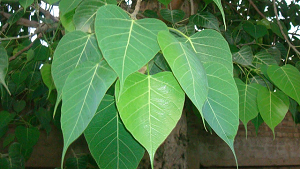Amazing Health Benefits of Peepal
