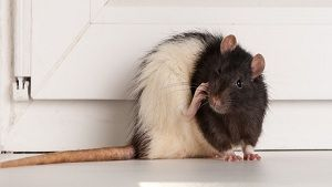 Get Rid of Mice in Home - Choohe Bhagane Ke Asan Tarikay