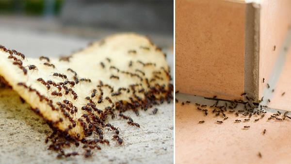 How to Get Rid of Ants in House