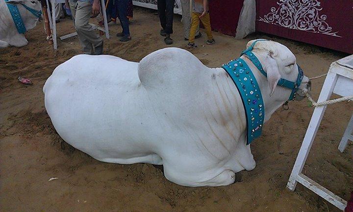 Surmawala Cattle Farm 2014   Eid ul Adha 2014   Eid ul ...