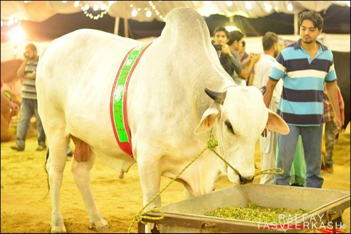 Afridi Cattle Farm 2014 Karachi